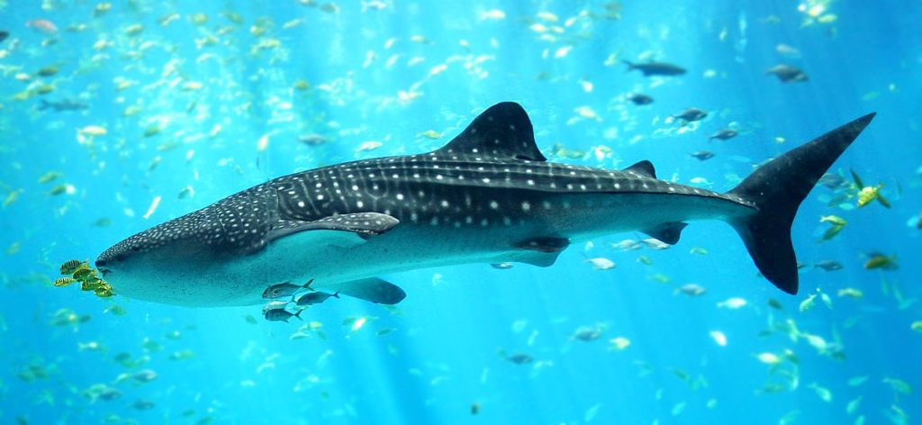 1200px-Whale_shark_Georgia_aquarium